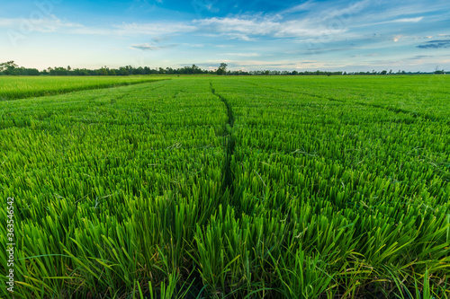 Fototapeta Beautiful green field cornfield or corn in Asia country agriculture harvest with sunset sky background. obraz