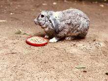 Conejo Gris De Graja Comiendo