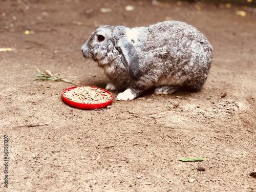 Photo conejo gris de graja comiendo