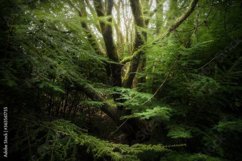 Winter Rural Spruce Tree - 363561755