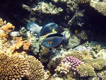 Sohal Surgeonfish. Fish - A Ty...
