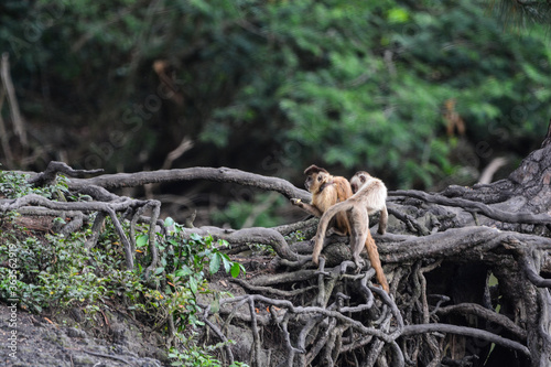 Monkies On A Fallen Tree In Forest Canvas Print