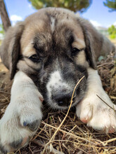 Puppy, Anatolian Shepherd Dog. Close-up Portrait…