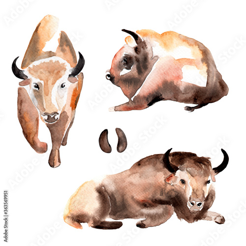 Fototapeta watercolor drawing of animals - bison in various poses and a trace of a bull