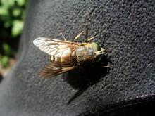 Tabanidae Tábano