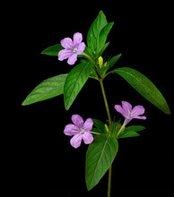 Flowers And Flower Bud Of Wild Petunia (Ruellia Humilis), A Perennial Plant Native To Mexico And Now Naturalized Throughout North America.