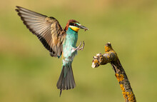 Common Bee-eater Perching On S...