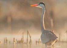 Grey Heron Portrait