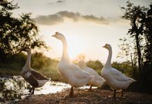 Goose Family Walking In Natura...
