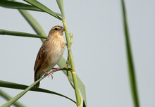 Southern Red Bishop Female Perched On Reed At Adhari Area