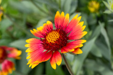 Single Bright Red And Yellow Blooming Blanket Flower (gaillardia) Close Up