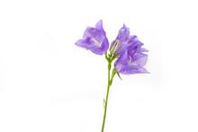 Isolated Blossom Bellflower In...