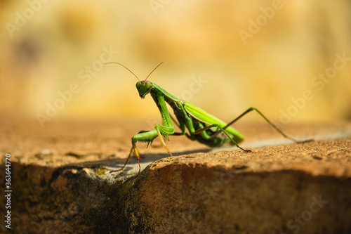 Obraz na plátně Close-up Of Insect On Rock, Close Up Mantis On Wall In Sunlight