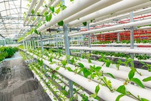 Soilless Crops Grown In Pipes ...