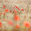 Poppies in beautiful cornfield