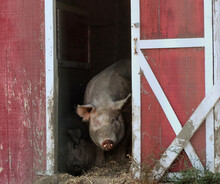Pig In Doorway
