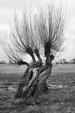 Gnarly Old Willow Trees