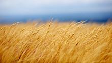 Tall Grass On A Mountainside