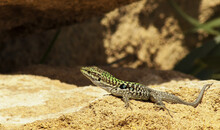 Lizard On The Sun