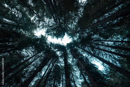 Fototapeta Low Angle View Of Trees In Forest obraz
