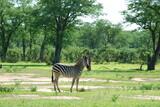 Fototapeta Zwierzęta - Zebra (equus) pasie się w parku narodowym Mana Pools w Zimbabwe w Afryce w upalny letni dzień
