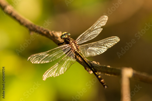 Closeup of dragonfly resting on branch Wallpaper Mural