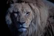 Close-up Portrait Of A Lion