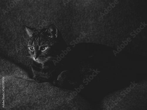 Fotomural black and white photo of a cat