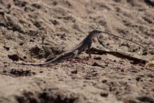 Zebra Tailed Lizard, Callisaurus Draconoides,