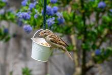 Female House Sparrow Bird, Passer Domesticus, Perched On Suet Garden Feeder