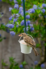 Female House Sparrow Bird, Passer Domesticus, Perched On Suet Garden Feeder