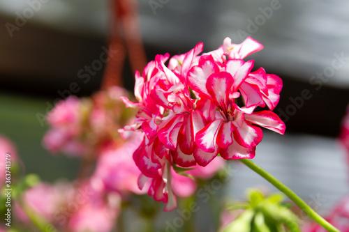 Close view of flowers of ivy leaved geranium Billede på lærred