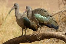 Pair Of Hadada Ibises, Samburu...