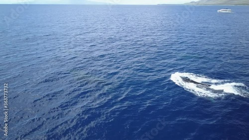 Fotografie, Obraz Humpback Whales Cruising in blue Ocean whalewatching  Aerial view