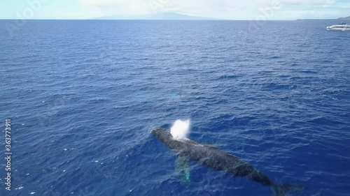 Obraz na plátně Humpback Whales Cruising in blue Ocean whalewatching  Aerial view