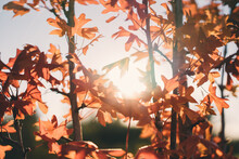 Close-up Of Sunlight Streaming Through Autumn Leaves