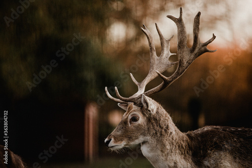 Fototapeta A close-up of a deer with big antlers in the evening sun obraz
