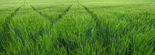 Green Wheat Field With Lane Of...