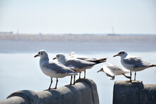 Seagull Portrait Against Sea S...