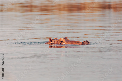 Hippo looking out of the water, Hot Springs lakes, Oromnia region between lake Hawassa and Shashamane, Central Ethiopia Africa wildlife.