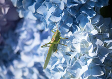 Large Green Grasshopper On A H...