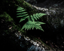 Close-up Of Fern Leaves On Rock