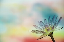 Water Lily On Blurred Background