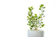 Mistletoe Rubber Plant Is An O...