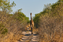 Giraffe Crosses The African Bush On A Small Dirt Road.  Giraffe Photographed From The Back.
