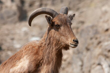 Close Up Of A Mountain Goat At...