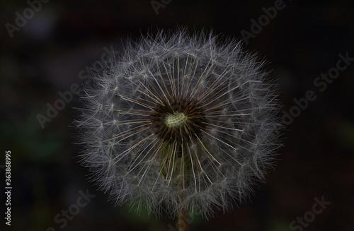 Fototapety, obrazy: dandelion on black background