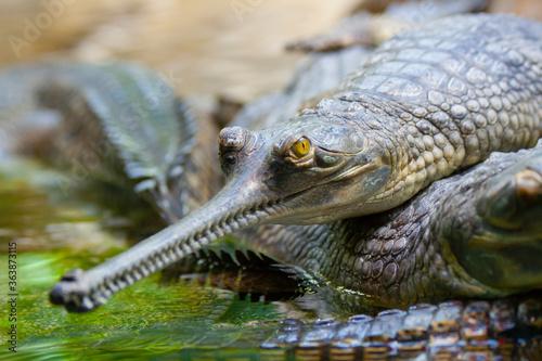 Tela gavial crocodile in the water