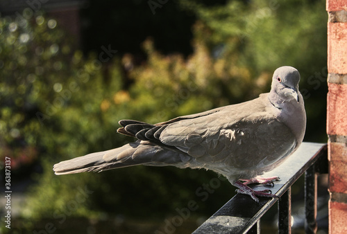Photo Close-up Of Collared Dove Perching