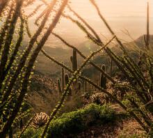 High Angle View Ocotillo Cactu...
